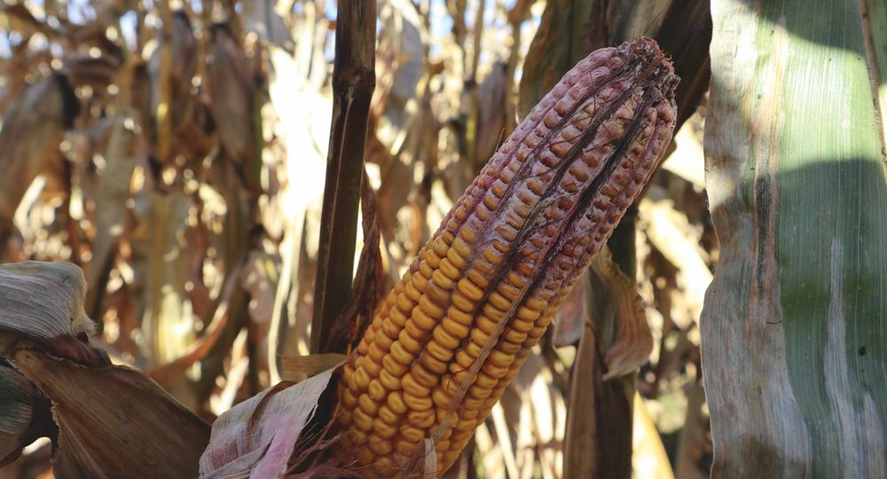 CGEMar2019-The-lessons-learned-from-a-late-fall-visit-from-DON-Gibberella-ear-rot-–close-up-–LERL-7033