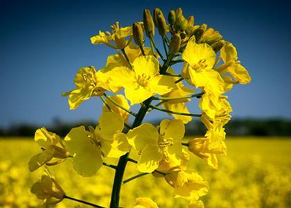 canola-flower1